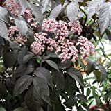 Black Beauty ® Elderberry - Sambucus nigra - Potted - Proven Winners - 4