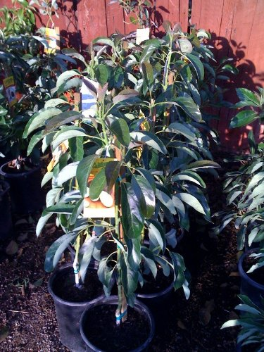Haas Avocado Tree