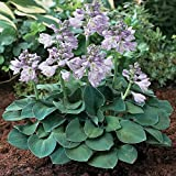 Amazon / Hirts: Hosta: Blue Mouse Ears Hosta - 2008 Hosta of the Year - Dwarf/Fairy Garden - 2.5 Pot