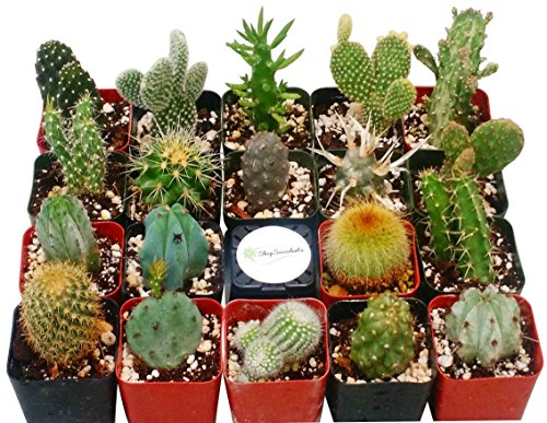 Shop Succulents Cactus Succulent (Collection of 4)