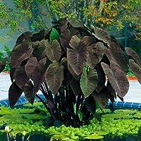 Black Magic Elephants Ear - Gothic - Colocasia - 9/11 cm Bulb