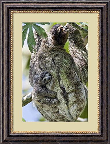 Brown-Throated Three-Toed Sloth Mother With Newborn Baby Climbing Tree, Aviarios Sloth Sanctuary, Costa Rica By Suzi Eszterhas front-646817