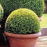 Buchsbaum Kugel 25 cm - 1 strauch