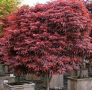 Amazon.com : Rhode Island Red Japanese Maple 1 - Year