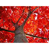 New Red Oak , Quercus rubra , ( Quercus borealis ) , Tree 4+Seeds ( Acorns ) Showy Fall Color