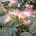 Albizia jul.Summer chocolate, arbre d...