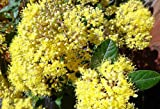 Pomaderris kumeraho (Kumerahou) absolutely rare endangered species!! 40 seeds