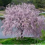 Weeping Yoshino Cherry Tree Shidare - Established Roots 2.5
