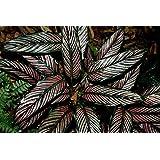 * Calathea Ornata * Lovers Plant * Amazing Leaves * Pink Strips * RARE 5 Seeds *