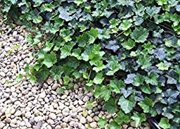 Jmbamboo - Thorndale English Ivy 48 Plants - Hardy Groundcover - 2 1/4\