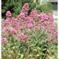 Herb Seeds - Valerian Red - 200 Seeds