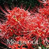 10 Pcs / Lot Lycoris Species Of Fresh Bulbs Garden Plants Potted Bonsai Hot Red Bana Bulbs 12 Colors Available