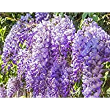 Wisteria sinensis (1 Plant) Superb shrub, best-loved climbing plants