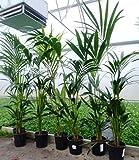 Kentia Palme 160cm+