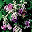 Vigna Caracalla, Sweet Fragrance Cork Screw, Snail Vine 4 Seeds, Gorgeous!