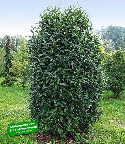 baldur garten s ulen kirschlorbeer genolia 1 pflanze. Black Bedroom Furniture Sets. Home Design Ideas