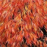 100 ORANGE DREAM JAPANESE MAPLE TREES SEEDS,ORNAMENTAL SHADE TREES