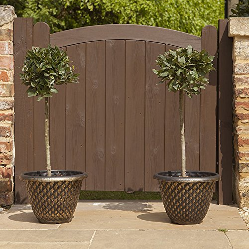 standard-bay-trees-1m-tall-pair-of-2