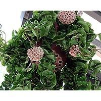 Hindu Indian Rope Plant - Hoya - Exotic/Easy