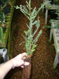 Nicely started California redwood tree - 21 inches high