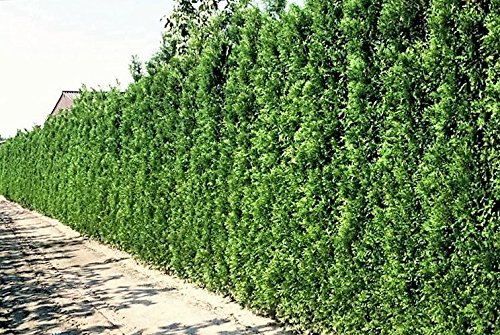 thuja occidentalis brabant eine pflanze im container 140 160 cm gesamth he frisch aus der. Black Bedroom Furniture Sets. Home Design Ideas