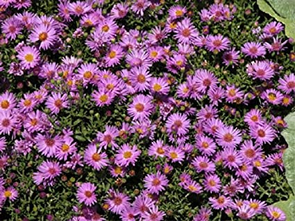 Asters Flowers Annual Flower Plant Seeds Annual