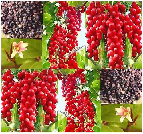 20 X Chinese Magnolia Vine Seed - Schisandra Chinensis, Seeds Fragrant Pink Blooms - Zones 4 - 10 - High Antioxidants - Edible Berries - By Myseeds.Co