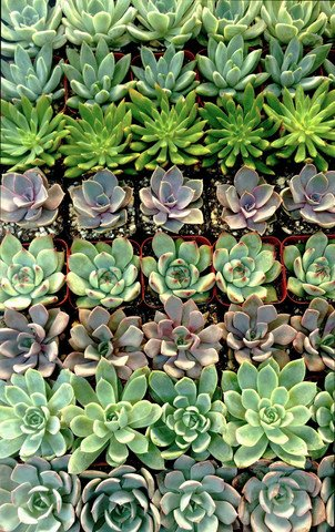 Stunning Succulent Rosettes from Shop Succulents Licensed Nursery (100)