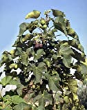 Diesel Fuel Plant - Jatropha - 10 Seeds - SOIL TO OIL!