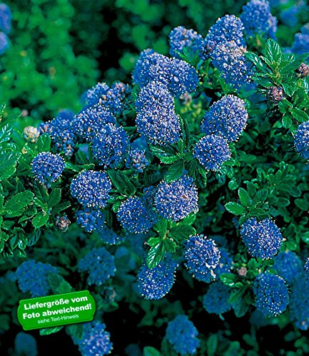 baldur garten immergr ne s ckelblume blauer ceanothus 39 blue mound 39 1 pflanze. Black Bedroom Furniture Sets. Home Design Ideas