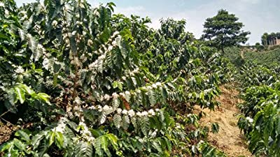5LBS Ethiopia Sidamo Decaf Unroasted Green Coffee Beans by Bodhi Leaf Trading Company
