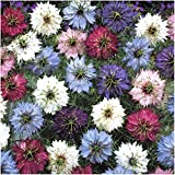 """Package of 300 Seeds, Love In A Mist """"Persian Jewels"""" (Nigella jewels) Non-GMO Seeds By Seed Needs"""