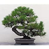 Japanese Black Pine 25 Seed - Bonsai