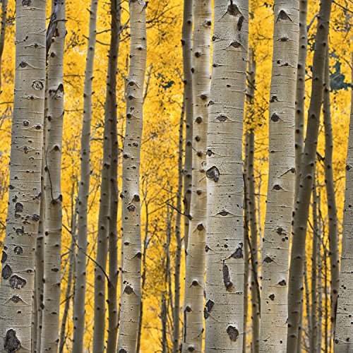 Aspen Trees 3 24x24in Paper Ehouseholds Com