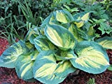 Amazon / Hirts: Hosta: Dream Weaver Hosta - NEW - Quart Pot