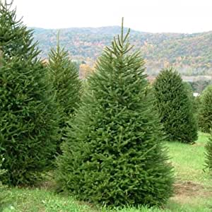 Amazon Com Norway Spruce Picea Abies 30 Seeds Patio