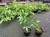 パッションフルーツの苗2本 多年草なので最大で4年間収穫できます。鈴なりの実を育てる事も可能です