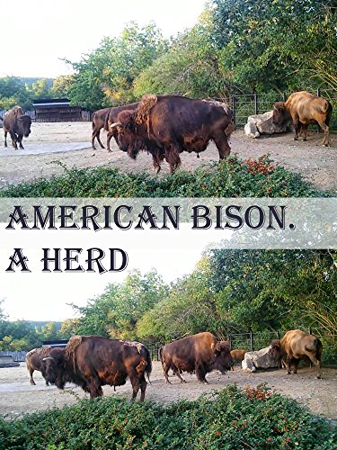 American Bison. A herd on Amazon Prime Instant Video UK