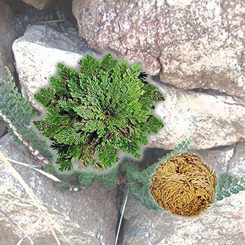isremi (TM) Nuovo caldo pratica dal vivo Resurrezione pianta di rosa di Gerico Dinosauro impianto aria Fern Spike Moss # 61285