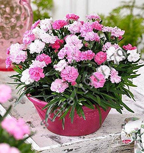 100pcs-carnation-samen-pflanzen-blumen-bonsai-samen-gartenterrasse-nelken-mischfarben-samen