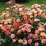 Rose Jazz® - Bodendeckerrose mehrfarbige Blüten in Orange Apricot Gelb - Kleinstrauchrose Pflanze Duftend Winterhart Halbschattig Mehltau-Resistent vom Testsieger Stiftung Warentest - Garten Schlüter