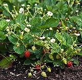 'Temptation' Everbearing Alpine Strawberry - 15 Seeds - Super Sweet