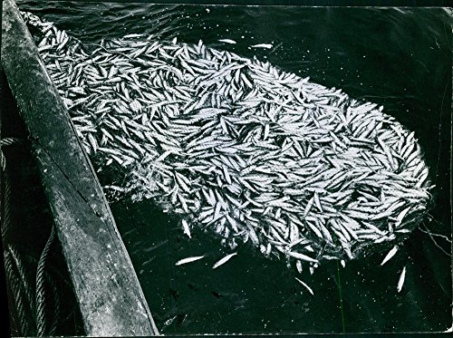 vintage-photo-of-a-view-of-large-amount-of-fishes-caught-on-the-fishing-net