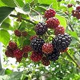 [Amazon限定]木いちご:ブラックベリー ボイソンベリー[ボイセンベリー]4?5号ポット 2株セット[トレリス・フェンスに!大きな実のブラックベリー][苗木]