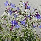 ロベリア:プリンセスブルー3号ポット 2株セット[3月から12月まで咲く!丈夫なブルーの花]