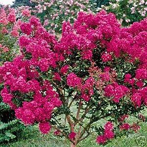 Amazon.com : Crape Myrtle Tonto ~STUNNING~ Award winning blooms