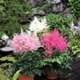 Astilbe arendsii Music Collection - 3 plants