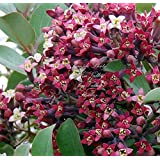 Santalum album East Indian Sandalwood Rare exotic Tropical Tree Red Blooms