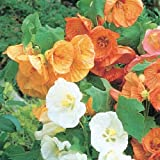Abutilon - Giant Flowering Mixed 50 Seeds