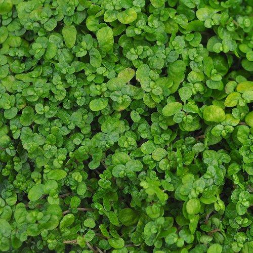 Soleirolia soleirolii, Baby Tears, Green